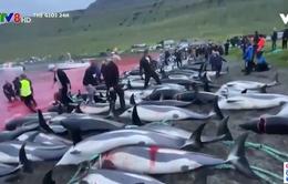 Bãi biển Đan Mạch chuyển đỏ vì 1.400 con cá heo bị giết