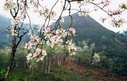 THTT: Hoa Ban khoe sắc  (20h00, 13/3, VTV2)