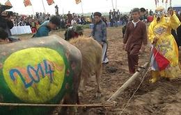 Vẽ hình ngựa lên lưng trâu ở Lễ hội Tịch Điền