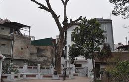 Hà Nội mất thêm 3 cây di sản 700 tuổi