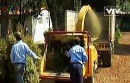 Mexico: Tái chế cây thông Noel nhằm bảo vệ môi trường