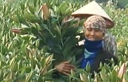 Hà Nội: Nhiều vườn hoa ly bạc tỷ dịp Tết