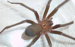 Vaccine chế từ nọc độc nhện