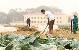 Hải Dương: Khi làng… không trồng lúa