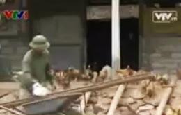 Cứ bán 1.000 con gà, nông dân lỗ 30 triệu đồng