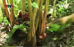Hà Giang: Lập đoàn kiểm tra xác minh mục đích thu gom thảo quả