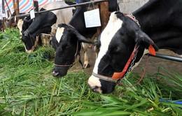 """DN sản xuất sữa """"đau đầu"""" phát triển nguồn nguyên liệu"""