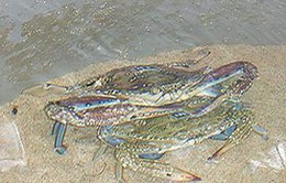 """""""Ngân hàng ghẹ"""" - Cách thức bảo vệ nguồn lợi biển ở Phú Quốc"""