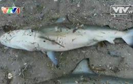 Thực hư cá mập xuất hiện gần bờ ở Khánh Hòa