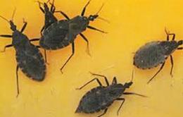 Cục Y tế dự phòng khuyến cáo phòng chống bọ xít hút máu