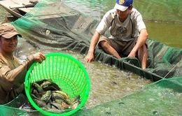 Nông dân ĐBSCL đổ nợ vì cá rô đầu vuông