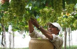 Hôm nay (17/7), khai mạc Lễ hội Nho và Vang Ninh Thuận