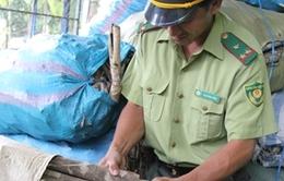 Quảng Ngãi: Nạn khai thác trái phép vỏ cây bùi gia tăng