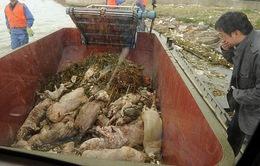 Lộ diện kẻ vứt xác heo trên sông Hoàng Phố