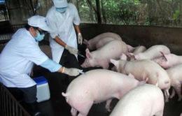 Bệnh lở mồm long móng và tai xanh lan rộng ở Hà Tĩnh