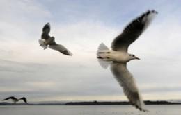Trung Quốc phát hiện H7N9 ở chim bồ câu hoang dã