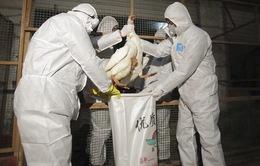 Trung Quốc: Cúm gia cầm tiếp tục lây lan