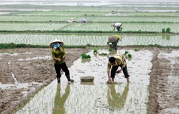 Tập trung hoàn thành gieo cấy vụ Đông Xuân
