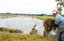 Hậu Giang: Giá lúa Đông Xuân bắt đầu sụt giảm