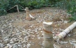 Sau 6 tháng, 20.000 ha cao su tại Tây Ninh bị đốn bỏ