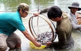 Đồng Tháp: Cá tra giống tồn đọng nhiều