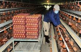 Nuôi gà đẻ trứng phụ thuộc con giống doanh nghiệp FDI