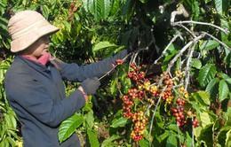 Nhiều nước tạm từ chối bảo hộ nhãn hiệu Cà phê Buôn Ma Thuột