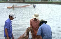 ĐBSCL: Nông dân bán tôm chạy dịch