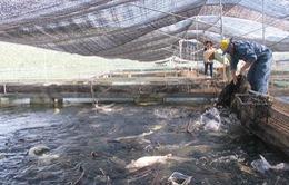 Người nuôi cá tầm cầu cứu