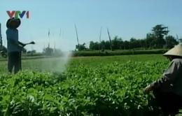Cung vượt cầu, giá rau ở Phú Yên lại giảm mạnh