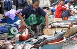 Hà Nội: 2 tấn cá tầm nhập lậu mỗi ngày