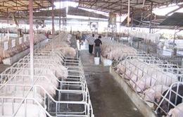 Bất thường khi lợn hơi đột ngột tăng giá