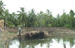 Nông dân đổ xô đào ao thả cá lóc trên đất lúa