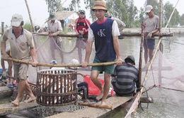 Đầu tháng 10, hàng loạt nhà máy cá tra phải đóng cửa