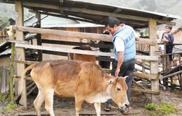 Dịch lở mồm long móng bùng phát tại Quảng Nam