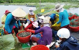 Thương lái Trung Quốc gây rối thị trường tôm nguyên liệu trong nước