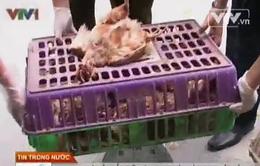 Hà Nội: Bắt giữ hơn 600 kg gà thải loại nhập lậu