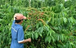 Vào vụ thu hoạch, người trồng cà phê kém vui
