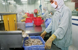 Mỹ trở thành thị trường lớn nhất tiêu thụ tôm Việt Nam