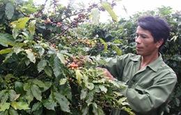 Nông dân Bình Phước điêu đứng vì cà phê rớt giá