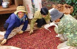 Bị truy hoàn thuế, DN cà phê kêu cứu