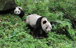 Trung Quốc: Tăng trưởng kinh tế nhờ chính sách bảo vệ gấu trúc