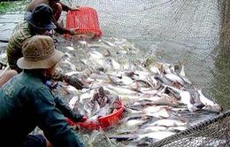 Đạo luật Nông trại chưa tác động ngay đến cá tra Việt Nam