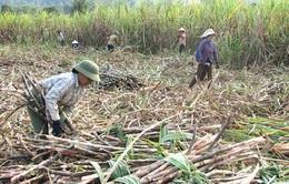 Nông dân bỏ mía - Nguy cơ mất vùng nguyên liệu