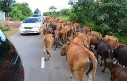 Siết chặt nhập khẩu trâu, bò sống qua biên giới
