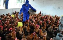 Ngành chăn nuôi gia cầm ở Hà Nội điêu đứng vì dịch