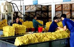 Việt Nam trở thành nước sản xuất cao su tự nhiên lớn thứ ba thế giới