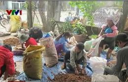 Thương lái Trung Quốc lùng mua hạt mây rừng