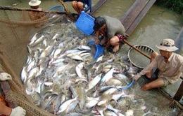 Hộ nuôi tôm, cá tra được cơ cấu nợ trong 3 năm