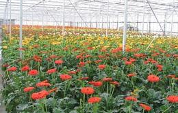 Tỷ lệ xuất khẩu hoa thấp - Vướng mắc từ thiếu quy chuẩn